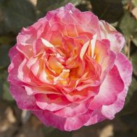 See more information about the Rose Gorgeous - Single Established Plant
