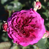 See more information about the Rose 'Timeless Purple' - Single Established Plant