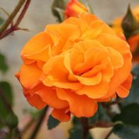 See more information about the Rose Precious Amber in a 3L Pot - Single Potted Plant