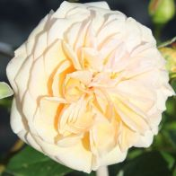 See more information about the Rose 'Timeless Cream' - Single Potted Plant