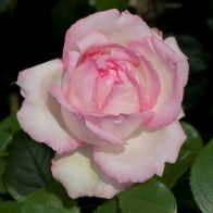 See more information about the Hybrid Tea Rose 'Honore de Balzac' - Single Potted Bush