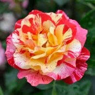 See more information about the Rose 'Camille Pissaro' - Single Potted Bush