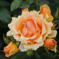 See more information about the Rose Queen Bee