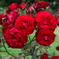 See more information about the Rose 'Trumpeter'