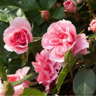 See more information about the Rose 'You're Beautiful'