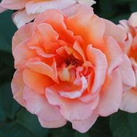 See more information about the Rose Fragrant Delight