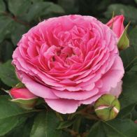 See more information about the Rose Mileva Frayla