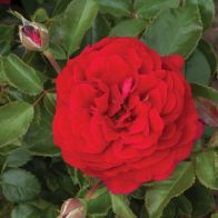 See more information about the Rose Docteur Watson