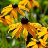 See more information about the Rudbeckia 'Goldsturm' - 3x Plants