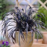 See more information about the Ophiopogon – Black Dragon Grass
