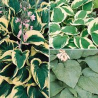 See more information about the Hardy Hosta Collection