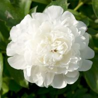 See more information about the Peony 'Duchess de Nemours' - 3x Bare Root Plants