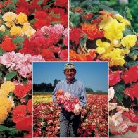 See more information about the Belgian Giant Begonias - 10 Upright and 10 Trailers