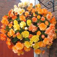 See more information about the Begonia Apricot Fiery Shades Tubers - 10x Mixed Tubers