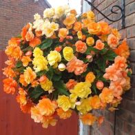 See more information about the Trailing Begonia 'Illumination Apricot Shades' - 10x Scent Tubers