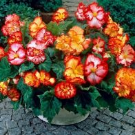 See more information about the Begonia 'Marginata Mix' - 10x Tubers