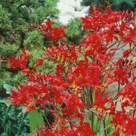 See more information about the Crocosmia Lucifer - 10x Bulbs