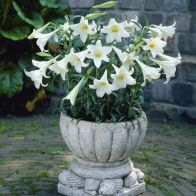 See more information about the Longiflorum Lily 'White Heaven' - 10x Bulbs