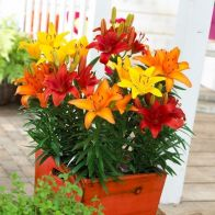 See more information about the Mixed Longiflorum Asiatic LA Hybrid Lilies - 25x Mixed Colour Bulbs