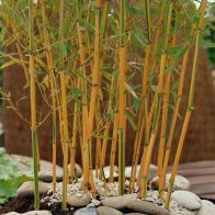 See more information about the Yellow Bamboo Phyllostachys Aureosulcata 'Spectabilis' - Single Potted Plant