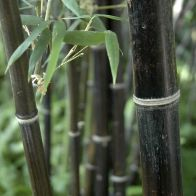 See more information about the Black Bamboo Phyllostachys Nigra - Single Mature Plant