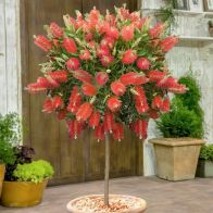 See more information about the Callistemon 'Bottlebrush' Standard