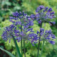 See more information about the Agapanthus Africanus 'Blue' - Single Mature Plant