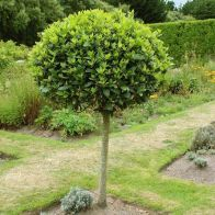 See more information about the Bay Tree Standard 70-80cm Tall - Single Bay Tree