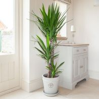 See more information about the Yucca Elephantipes 3 Stem in a 24cm Pot