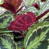 See more information about the Prayer Plant Calathea 'Medallion' Potted Plant in a 21cm Pot