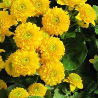 See more information about the Anglo Aquatics Caltha Palustris 'Plena' 1 Litre