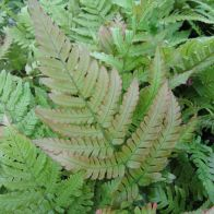 See more information about the Anglo Aquatics Dryopteris Erythrosora 1 Litre