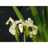 See more information about the Anglo Aquatics Iris Pseudacorus 'Alba' 1 Litre