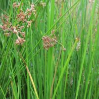 See more information about the Anglo Aquatics Juncus Effusus 1 Litre