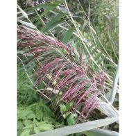 See more information about the Anglo Aquatics Phragmites Australis 1 Litre