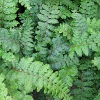 See more information about the Anglo Aquatics Polystichum Polyblepharum 1 Litre
